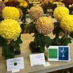 Cinderford Chrysanthemum Show